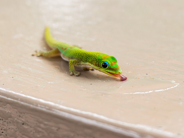 Day Gecko Drinking Water